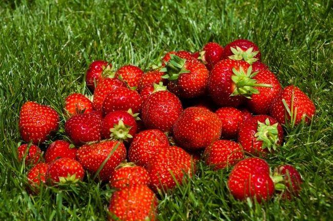 Как вырастить клубнику из семян: советы начинающим садоводам
