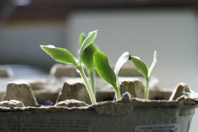 Как вырастить огурец на подоконнике: пошаговая инструкция