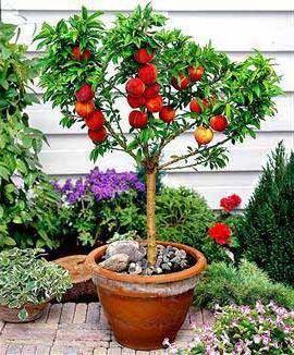 можно вырастить персик из косточки