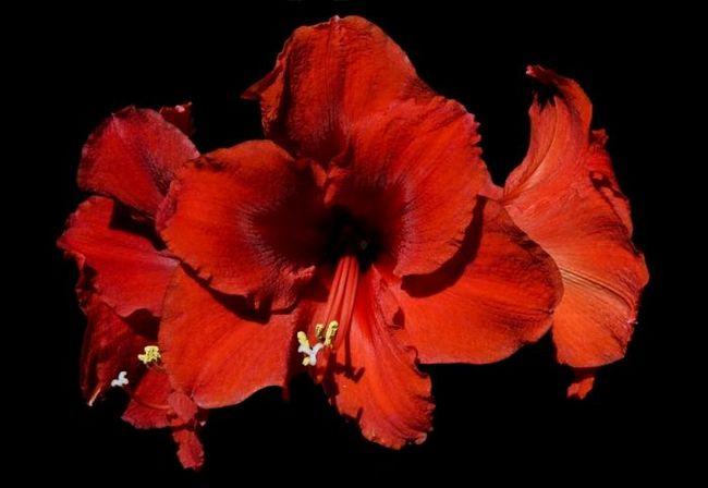 Какие цветы нельзя держать дома, или сохраните здоровье и жизнь домочадцам