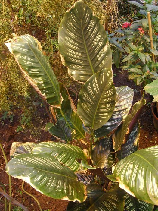 почему у калатеи скручиваются листья