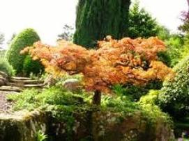 Клен японский - прекрасное украшение в доме