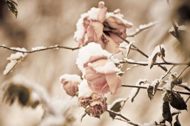 Когда открывать розы: некоторые правила по их сохранению