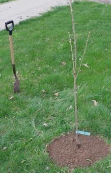 когда можно сажать деревья осенью
