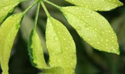 Комнатный цветок шефлера: уход за растением
