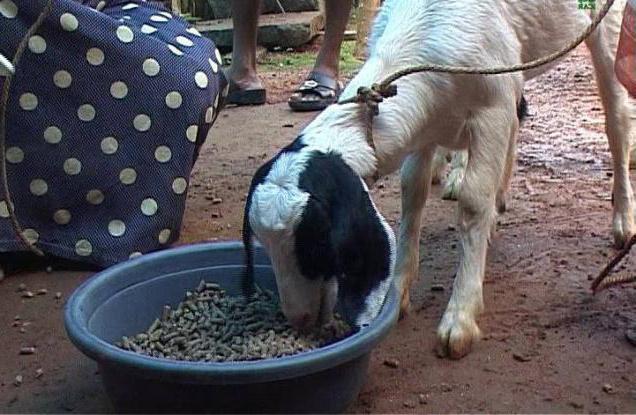 кормление новорожденных козлят