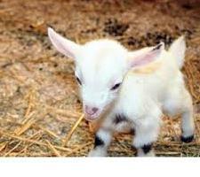 схема кормления и ухода за козлятами в первые месяцы жизни
