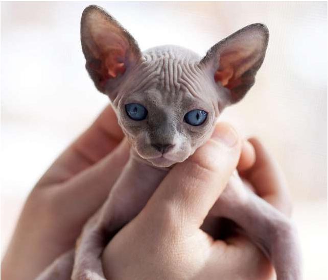 Короткошёрстная ориентальная кошка