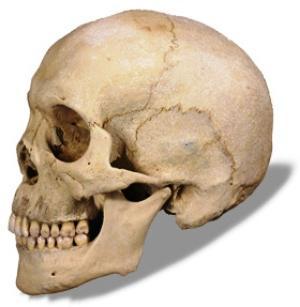 Парные кости черепа