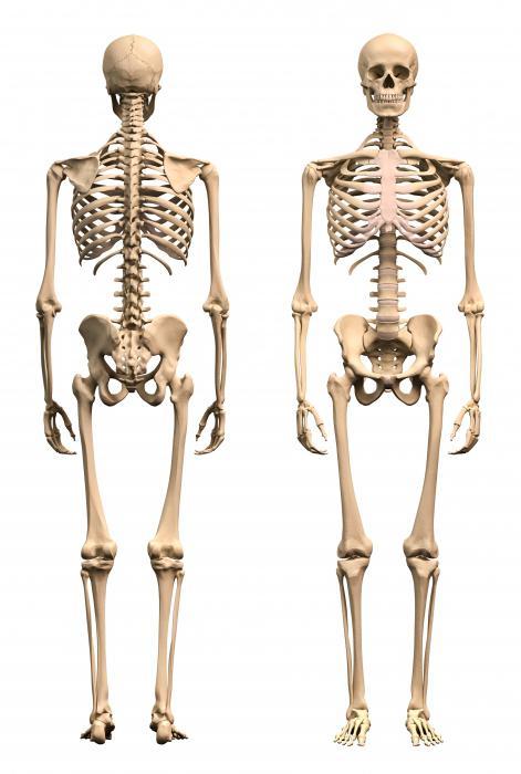 скелет взрослого человека состоит