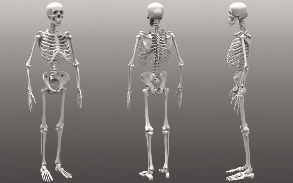 скелет человека соединение костей