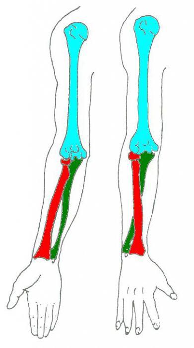 Лучевые кости руки