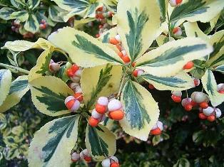 Красивое декоративное растение бересклет японский