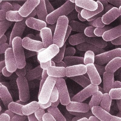 lactobacillus spp