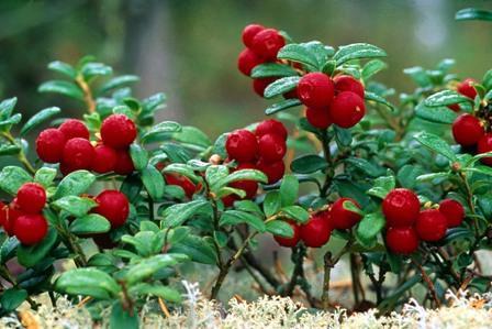 целебные свойства брусники ягоды