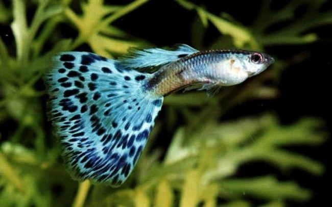 Маленькие рыбки гуппи - содержание и уход