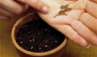 Мальва шток роза: выращивание из семян