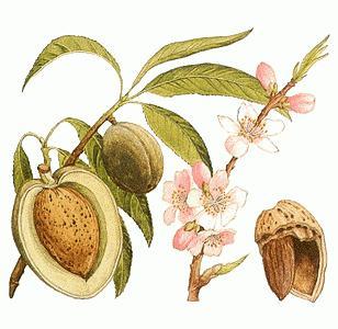Миндальный орех и его свойства