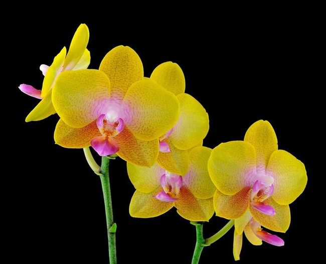 Можно ли пересаживать цветущую орхидею или лучше повременить?