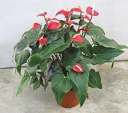 мужское счастье цветок как ухаживать