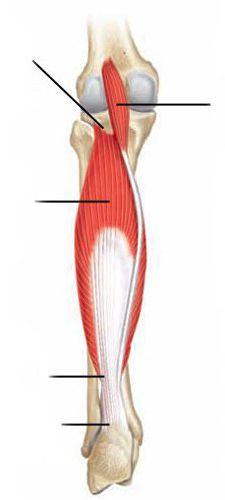 мышцы голени анатомия