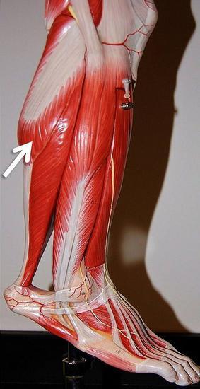мышцы голени их расположение функции
