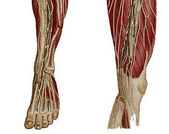 строение мышц ноги человека