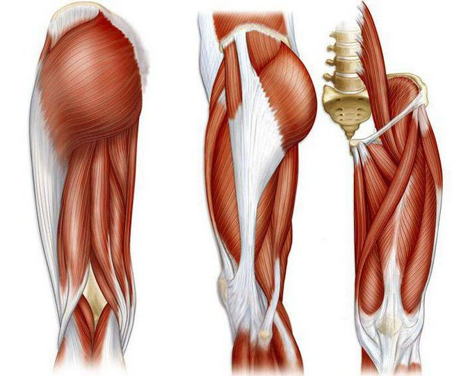 анатомия человека мышцы ног