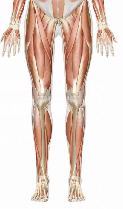 мышцы ног человека название