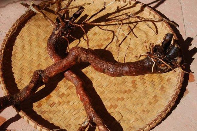 Настойка красного корня: эффективное средство от многих недугов