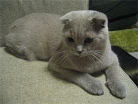 Насущный вопрос: чем кормить котенка шотландского вислоухого?