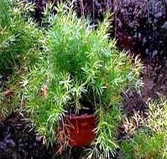 Неприхотливое и красивое растение - аспарагус шпренгера