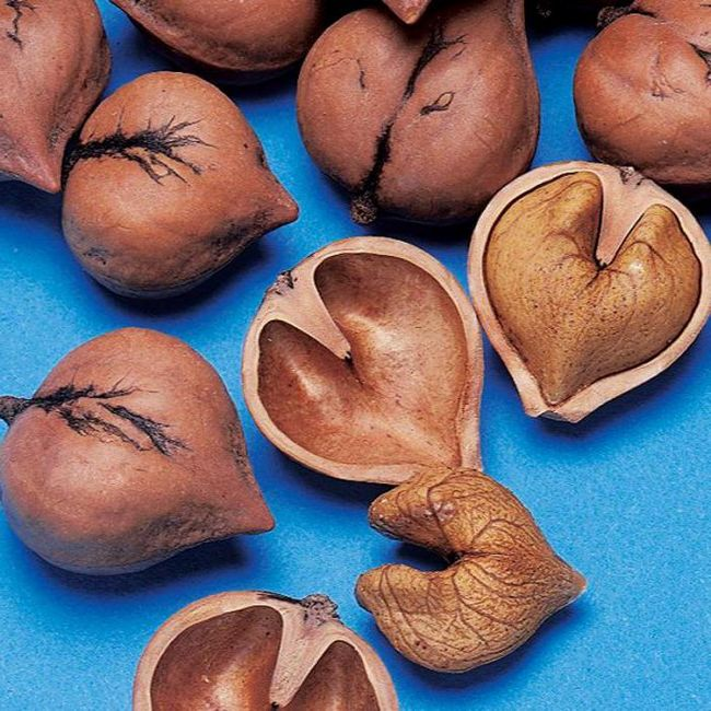 сердцевидный орех выращивание