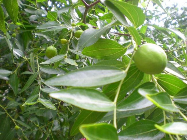 дерево семейства ореховых