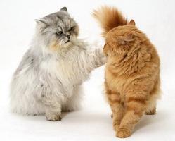 Основные правила вязки кошек и особенности их подготовки