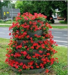 Пеларгония плющелистная: сорта и особенности выращивания
