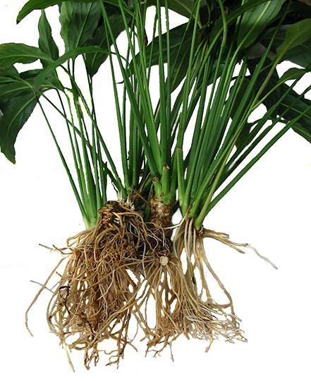 Комнатные растения.Спатифиллум