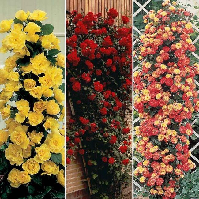 розы плетистые уход