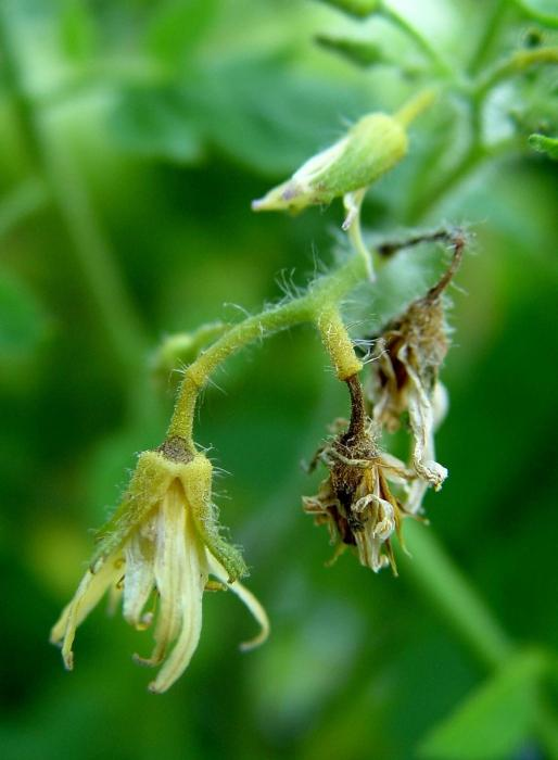 Почему опадают цветки у помидоров? Основные причины