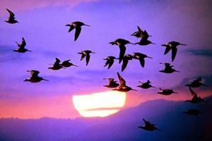Почему птицы мигрируют. Какие птицы перелетные, а какие – оседлые