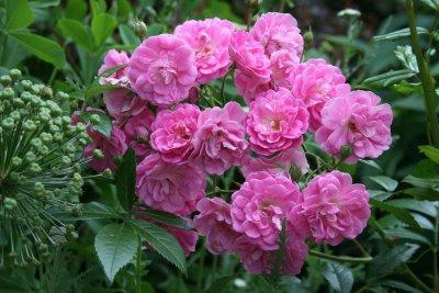 Полиантовые розы – интересная идея для декорирования участка