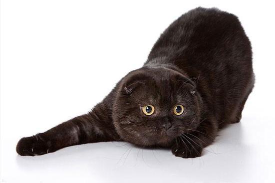 Популярная порода кошек: британец вислоухий