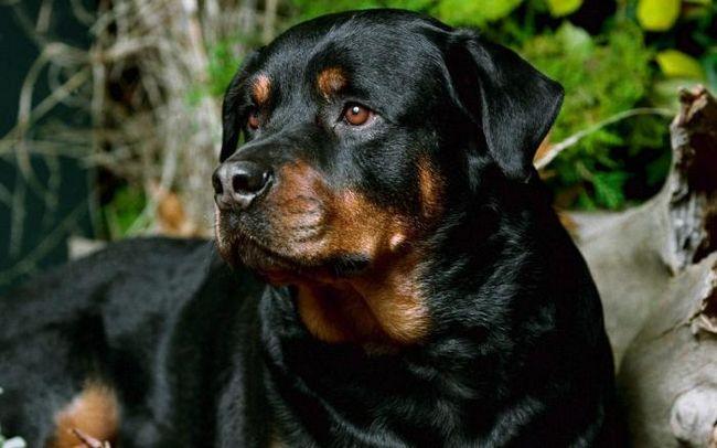Популярные охранные породы собак