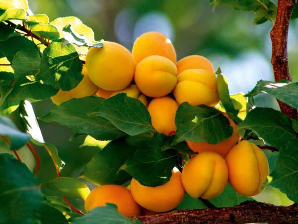 посадка абрикосов весной в подмосковье