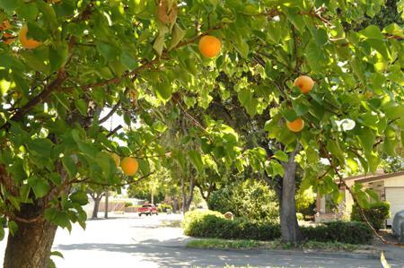 правила посадки абрикоса весной