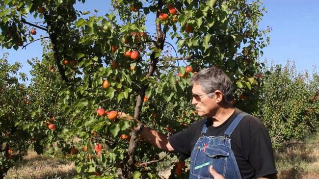 посадка абрикосов весной обрезка