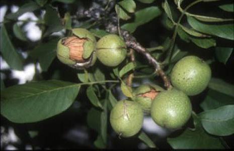 выращивание саженцев грецкого ореха