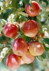 посадка яблонь осенью