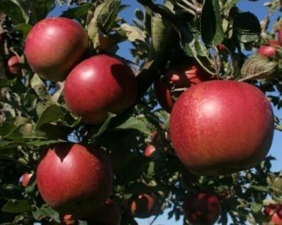 сроки посадки яблонь