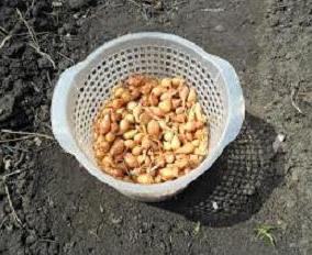 Посадка лука на репку - семена или севок?